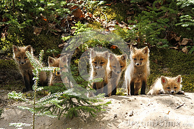 Red Fox Baby Kits
