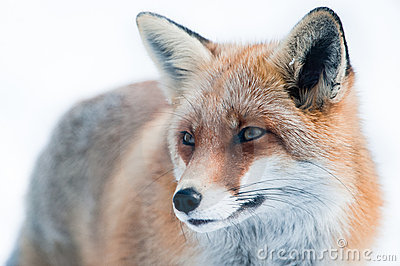 Red fox (lat. vulpes vulpes)