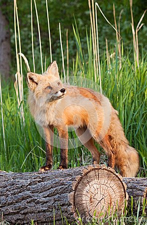 Red fox on the log