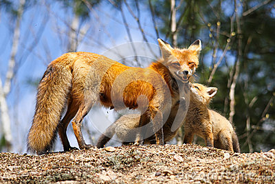 Red Fox Mother and Kits
