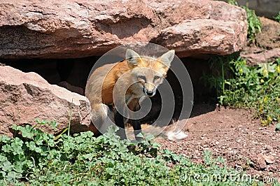 Red Fox Outside Den