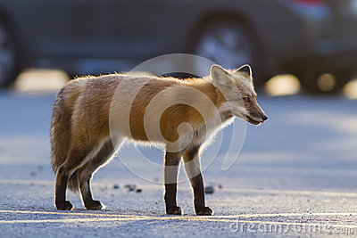Red fox in parking