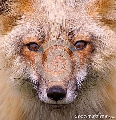 Free Red Fox Portrait &x28;wild&x29; Stock Photo - 29584720