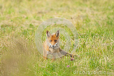 Red Fox with a prey
