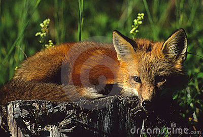 Red Fox Pup on Stump