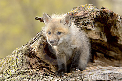 Red Fox Pup (Vulpes vulpes) lookiing camera left.