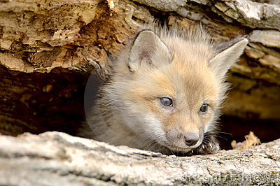 Red Fox Pup-Vulpes vulpes-looking camera left