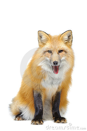 Red fox sitting