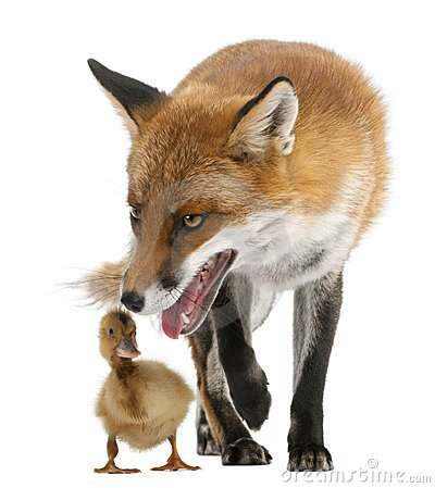 Free Red Fox, Vulpes Vulpes, 4 Years Old, Playing Stock Image - 20377901