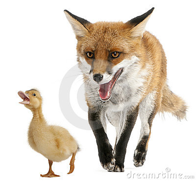 Free Red Fox, Vulpes Vulpes, 4 Years Old, Playing Royalty Free Stock Image - 20377926