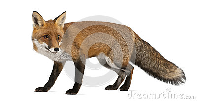 Red fox, Vulpes vulpes, 4 years old, walking