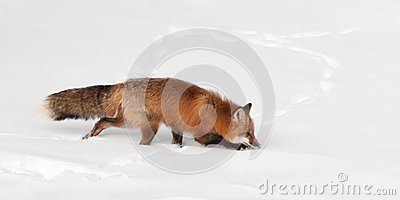 Red Fox (Vulpes vulpes) Creeps Through Snow