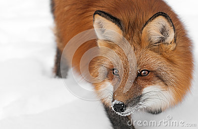 Red Fox (Vulpes vulpes) Looks Left Close Up