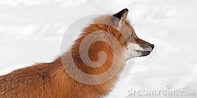 Red Fox (Vulpes vulpes) Looks Right Close Up