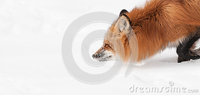 Red Fox (Vulpes vulpes) Moves Through the Snow