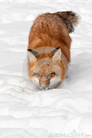 Red Fox (Vulpes vulpes) Prowls Towards Viewer