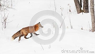 Red Fox (Vulpes vulpes) Runs Right