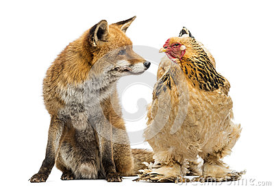 Red fox, Vulpes vulpes, sitting next to a Hen, looking at each