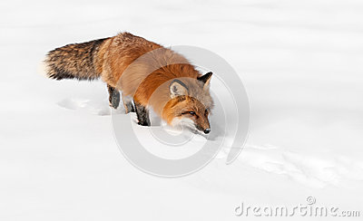 Red Fox (Vulpes vulpes) Stalks Through the Snow