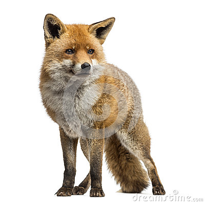 Red fox, Vulpes vulpes, standing, isolated