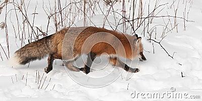 Red Fox (Vulpes vulpes) Trots Right