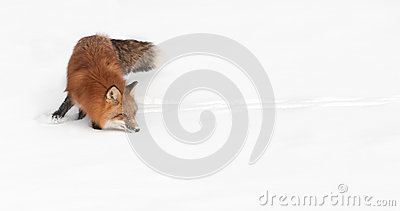 Red Fox (Vulpes vulpes) Turn and Sniff