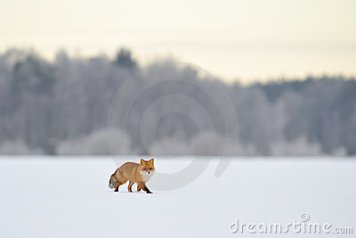Red fox walking in winter