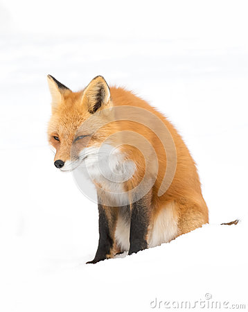 Free Red Fox &x28;Vulpes Vulpes&x29; With A Bushy Tail Isolated On White Background Hunting In The Freshly Fallen Snow In Algonquin Royalty Free Stock Images - 85689189
