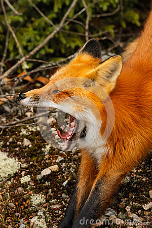 Red Fox Yawning