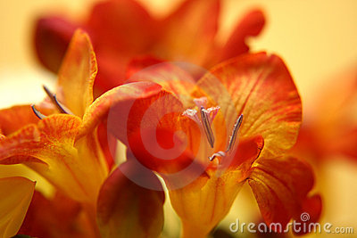 Red freesias