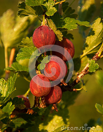 Red fresh gooseberry