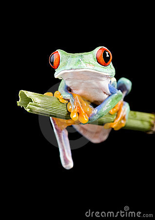 Free Red Frog Royalty Free Stock Photography - 3954957
