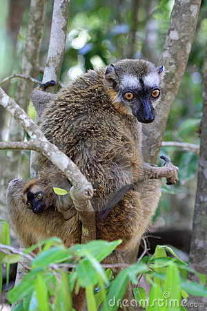 Red, fronted, Brown, lemur