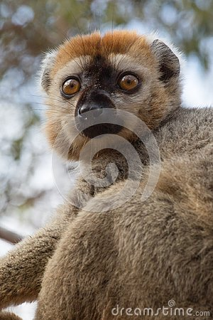 Free Red-fronted Brown Lemur Resting In Tree Stock Image - 103646071