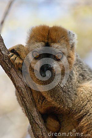 Free Red-fronted Brown Lemur Resting In Tree Royalty Free Stock Photography - 103646087