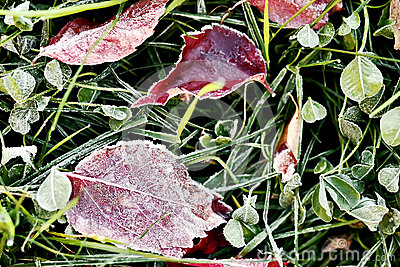 Red frozen leaves over grass