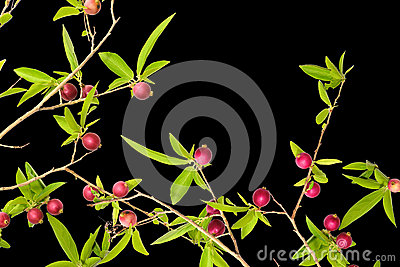 Red fruits tree
