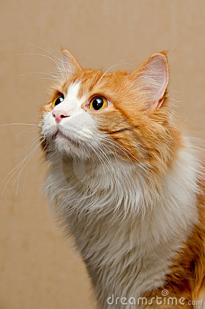 Red  furry cat