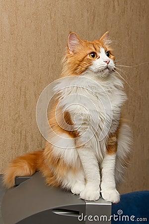 Red  furry cat