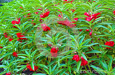 Impatiens balsamina linn kamantigue flower extract