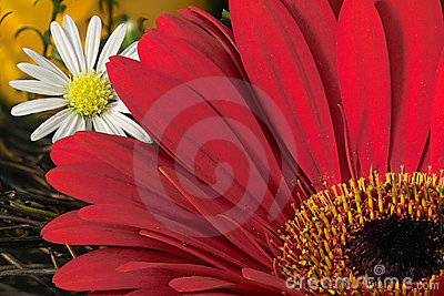 Red gardenia and daisy