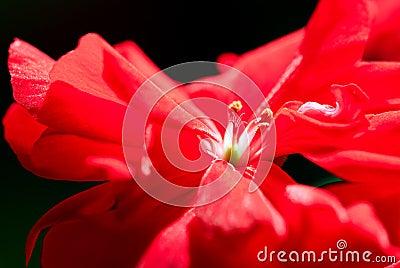 Red geranium.