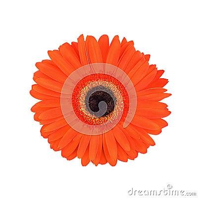 Red gerber daisy.