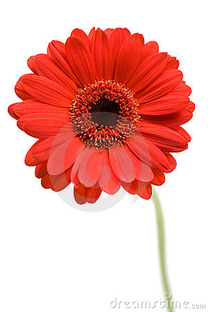 Free Red Gerber Daisy Stock Images - 3652274