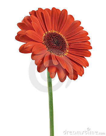 Free Red Gerber Daisy Royalty Free Stock Photo - 8198435