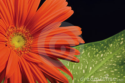 Red gerber daisy and leaf left hand