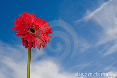 Red Gerber daisy with sky