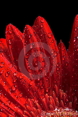Free Red Gerber Flower Royalty Free Stock Image - 6867226