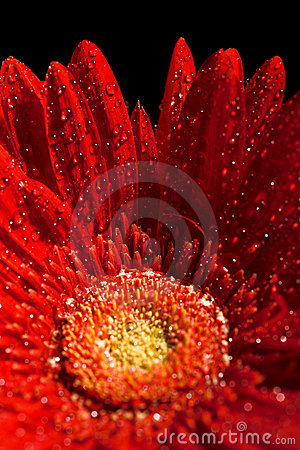 Free Red Gerber Flower Royalty Free Stock Images - 7226649