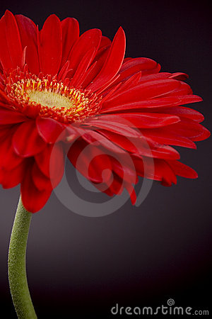 Free Red Gerbera Royalty Free Stock Images - 8429769